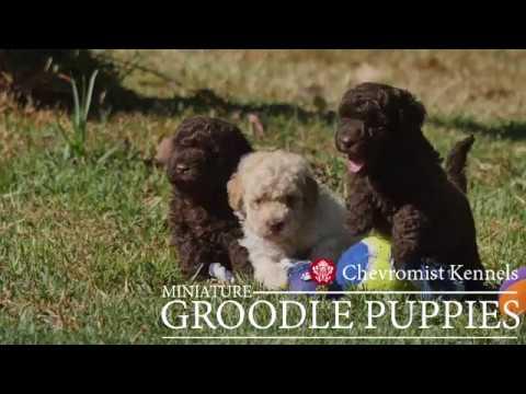 Miniature Groodles