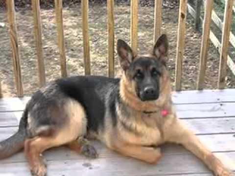 German shepherd! Vs! Rottweiler! - YouTube
