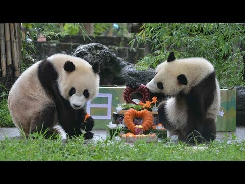 Giant panda twins celebrate second birthday