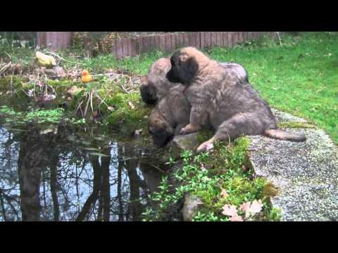 Leonberger pups 8 weken