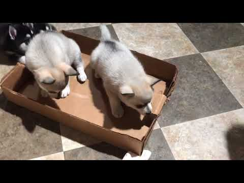 Klee kai puppies at play