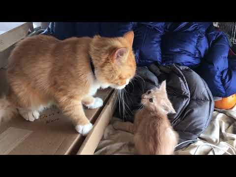 Dad cat beats up kitten and gets a kiss from mom at the end.
