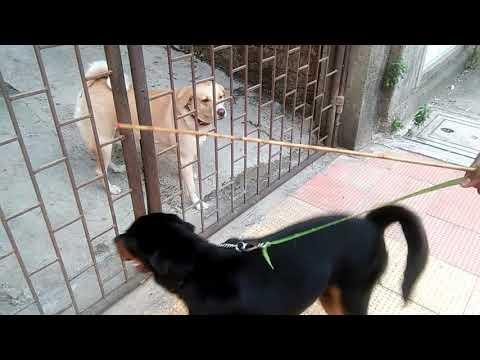 Small Rottweiler Vs Mixed Breed Dog