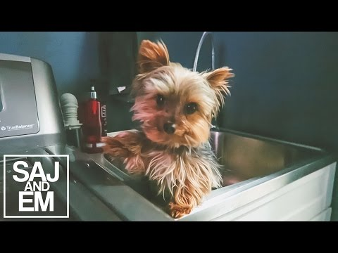 DOBBY THE TEACUP YORKIE HATES BATHS | SajandEm Daily Vlogs | March 31st, 2016