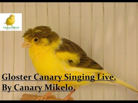 Gloster Canary Singing 2017 Live Video