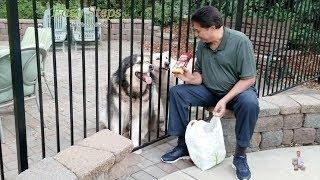 Sheru & Bruno Enjoying Treats in Hot Summer Day | Alaskan Malamute | German Shepherd