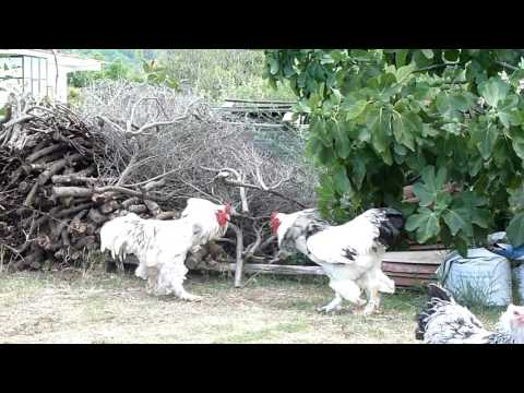 brahma roosters - hens in the yard.-BRAHMA CHICKEN -AGROKOTA
