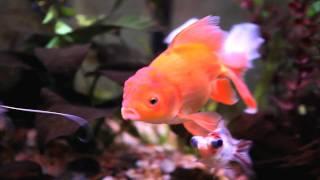 Gambar cover Goldfish in 1080P - Canon 5D Mark II