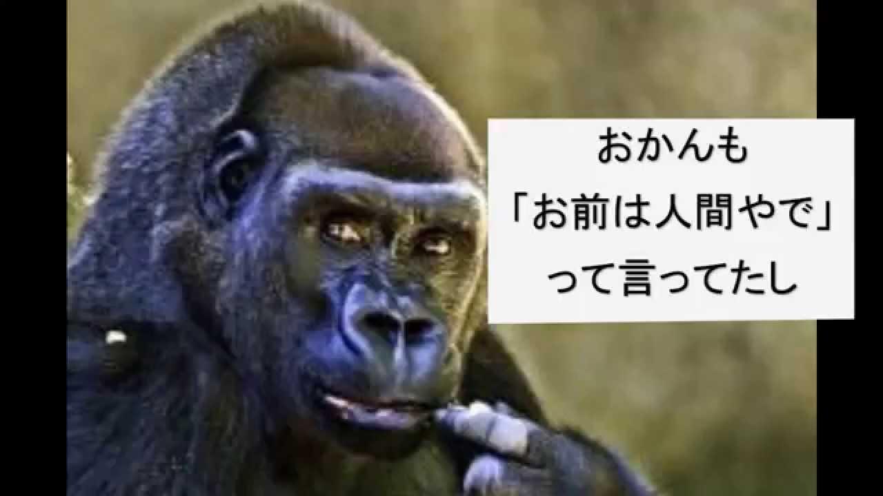 動物おもしろ動画【ゴリラの鈴木さん】