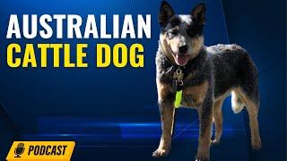 Episode 92: Australian Cattle Dog  Andrea Bennett from Arrow A Ranch