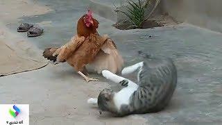 قط جائع يواجه دجاجة عنيدة والنتيجة صادمة