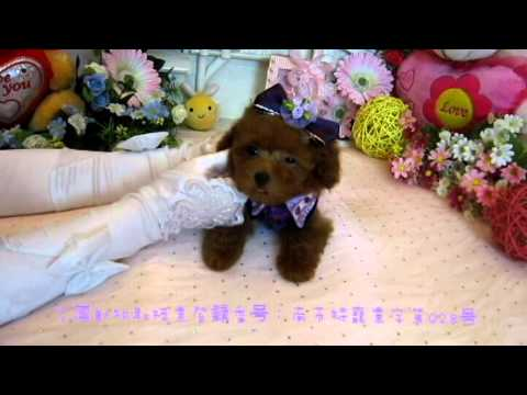 Tiny Teacup Poodle Puppy 094 Teacup Poodle Toy Poodles