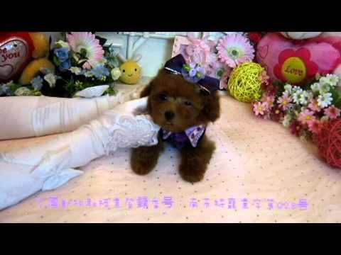 Tiny Teacup Poodle Puppy#094 - Teacup Poodle,Toy Poodles,Pocket Teacup poodle,Puppies For Sale