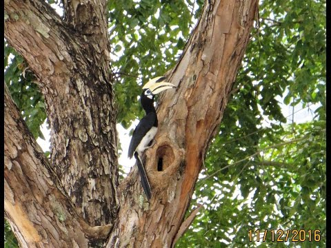 Holland Drive  11 Dec 2016 Oriental Pied Hornbill nest