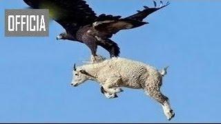 Aguilas Cazando Su Presa Lo Mas Increibles Ataques De Animales Salvajes 2016 Youtube