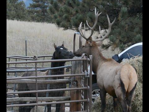 Elk Horse