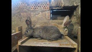 Как определить пол у крольчат! / Когда время ставить маточник Крольчихе!