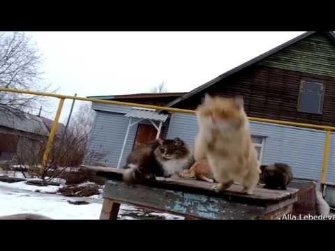 11 Jumping Cats Siberian cat Кубок Кошляндии по прыжкам в длину 6 ноября 2014,ПРЫЖКИ