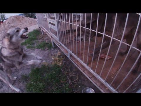 Wolf Vs Laika , Собака против Волка, северный волк, Канадский волк
