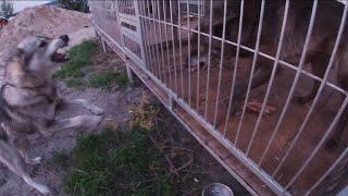 Западно-сибирская Лайка сработала по волку. Собака против Волка, северный волк, Канадский волк