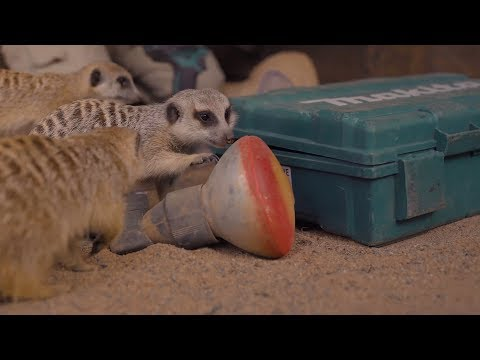 These Meerkats make work impossible