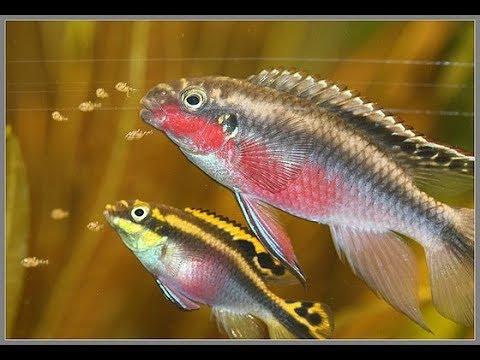 HOW TO BREED FISH (KRIBENSIS) CHEAP, EASY, COLORFUL