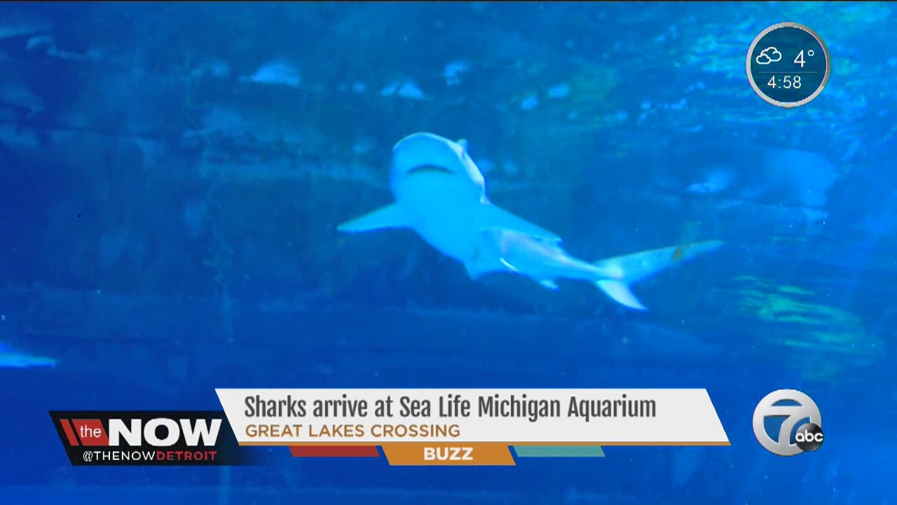 Sharks arrive at Sea Life Michigan Aquarium at Great Lakes ...