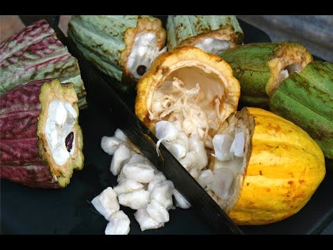 Where Chocolate Comes From (cocoa 101) #Gallivanting | CaribbeanPot.com