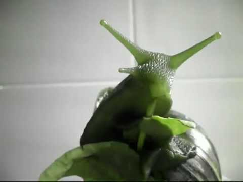 Giant African Land Snail Eating