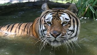 Global Tiger Day:  Meet Our Tiger Residents