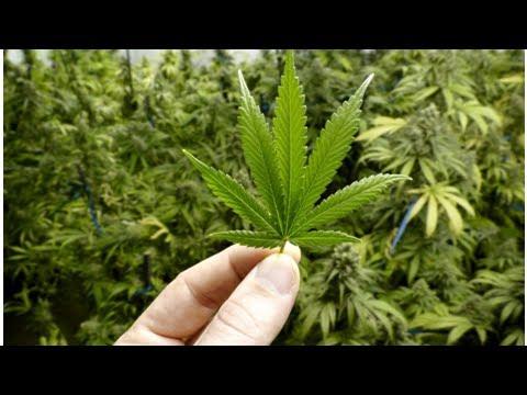 The legal system for medicinal marijuana a disgrace: Di Natale