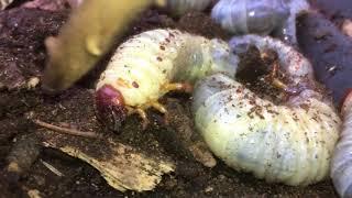 Worms head sound