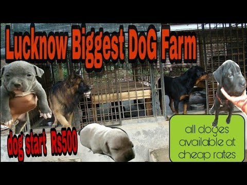 lucknow biggest dog market also kennel.want to buy call-8299183976.