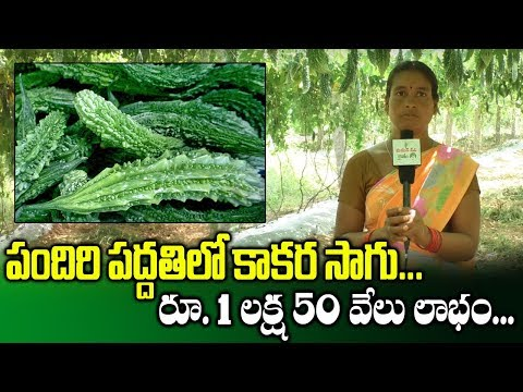 Profits With Cultivation Of Bitter Gourd Through Pendal System || SumanTV Rythu