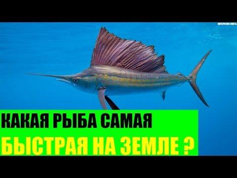Какая рыба самая быстрая на Земле?