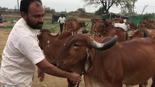 Organic Farm Visit   Learning about the Indian Gir Cow