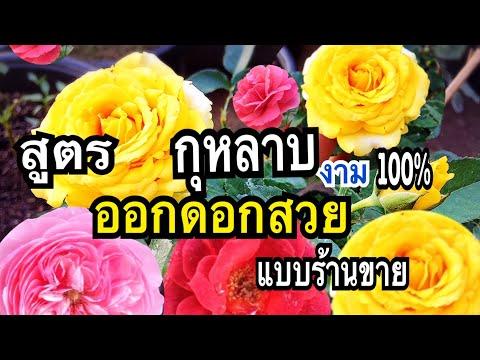 ยิ่งตัดยิ่งแตก!!! สูตรกุหลาบดอกใหญ่ ดอกดกตรึมเต็มต้นสีสวยเวอร์ด้วย #ปุ๋ยเปลือกไข่กากกาแฟ แม่ก้อยพาทำ