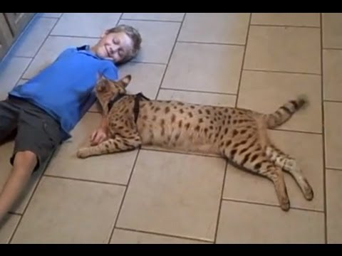 Feral Savannah Cat Spotted In Detroit Youtube