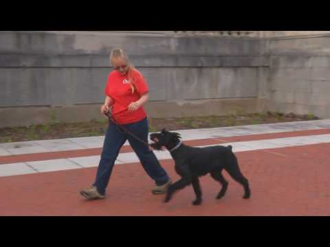 "Giant Schnauzer ""Yasmine"" 15 Mo's Obedience Trained Naturally Protective Home Raised Dog For Sale"