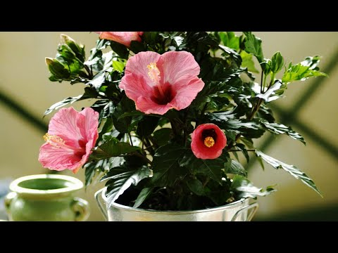 How to Propagate Hibiscus from Cuttings?