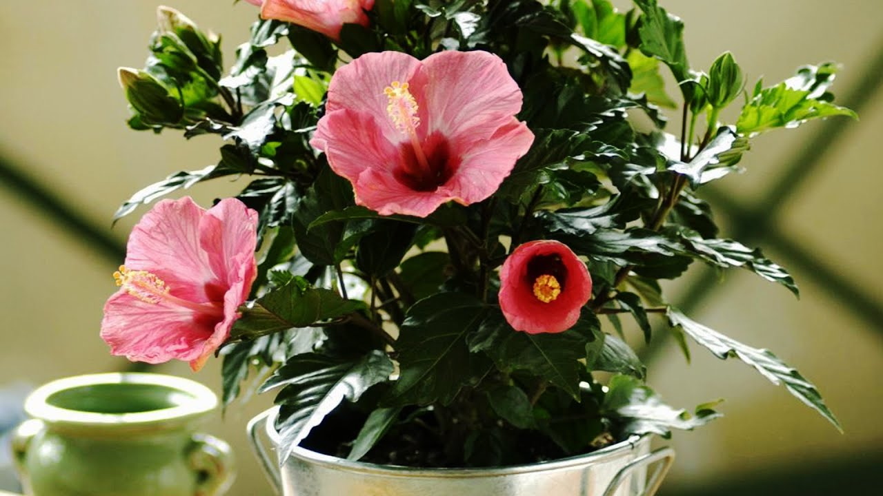 Hibiscus flowers rosa sinensis rachel moglowsky divorganizationdivdiva hibiscus flower is multicellular meaning it has more than one cell izmirmasajfo