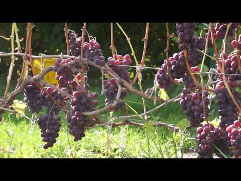 Виноград сорт Русский Конкорд (сентябрь)