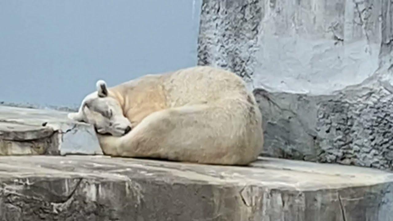 寝落ちしてるしろくまバリーバと2020年のしろくまバリーバ❤️とべ動物園にて