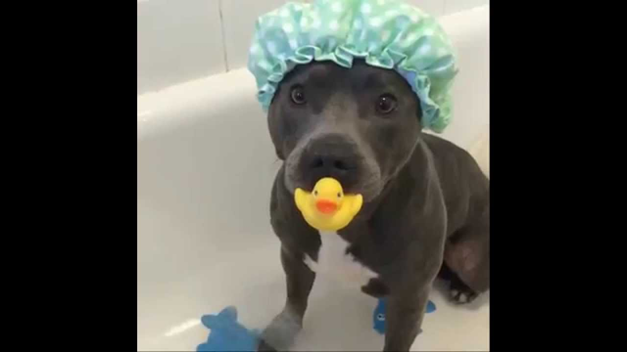 Staffy In The Shower Youtube