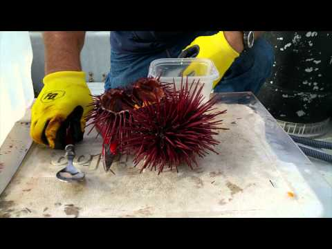 3 Ways to Crack an Urchin