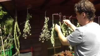 So trocknet man Kräuter für den Winter - Der Bio Koch #521