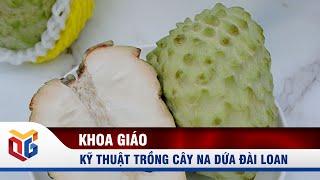 Kỹ thuật trồng cây na dứa Đài Loan | QTV
