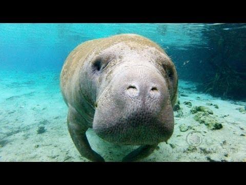 Crystal Manatees - Florida Manatee Wildlife