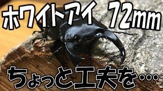 クワガタ&カブトムシ☆昆虫採集 ホワイトアイを増やしたい・・・】(く...