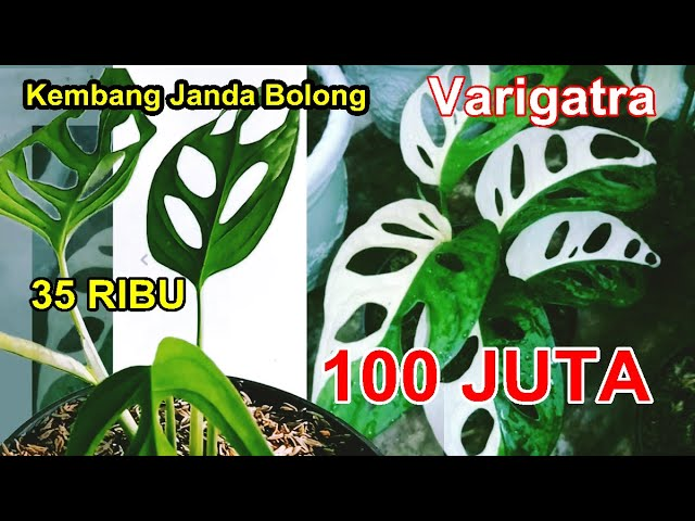 Kembang Janda Bolong Varigata Harganya Sampai 100 Juta Youtube